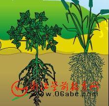 大班科谱常识FLASH:植物的根