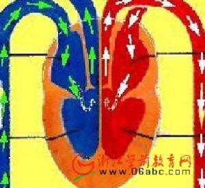儿童科学常识课件:血液循环器官